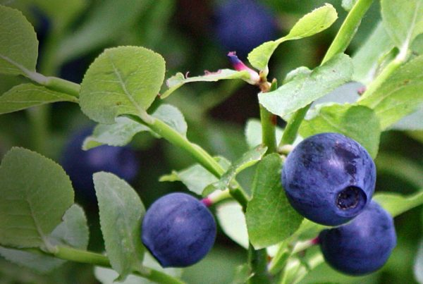 Heart - Bilberry