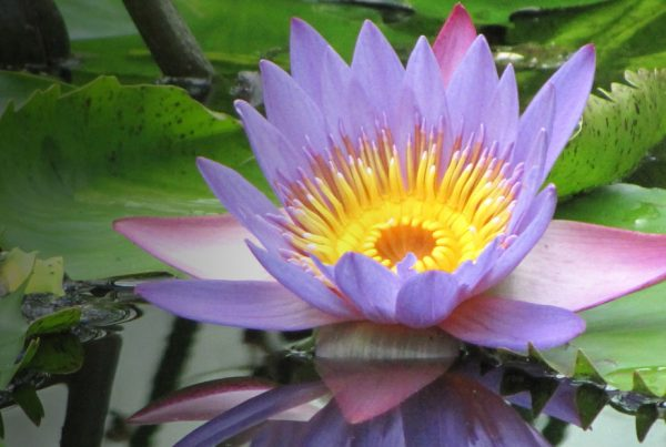 Sacred lotus - Egyptian lotus