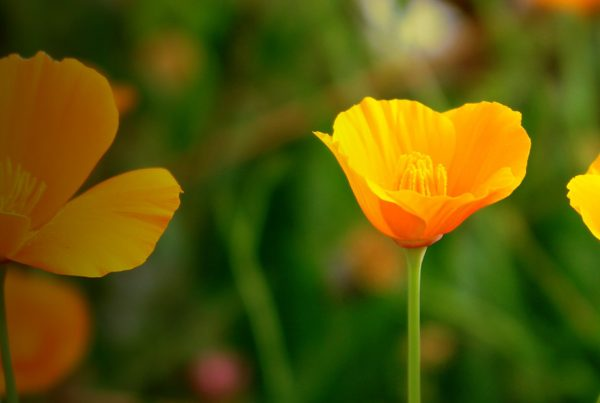 Flowering plant - California poppy