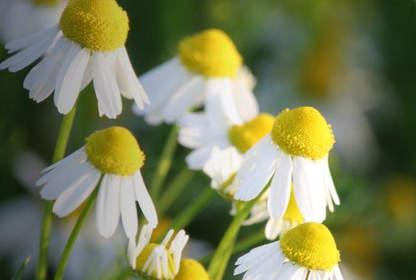 Roman chamomile - Flora