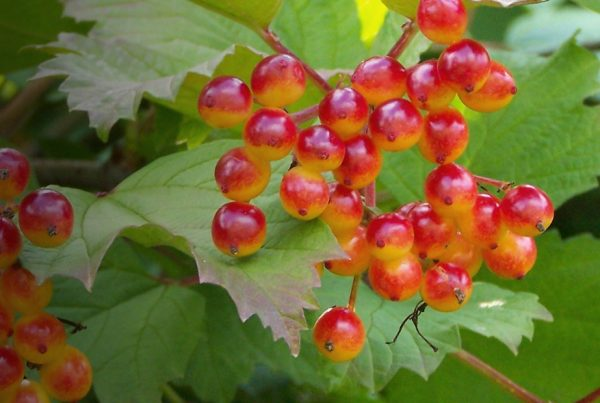 Guelder-rose - Japanese snowball