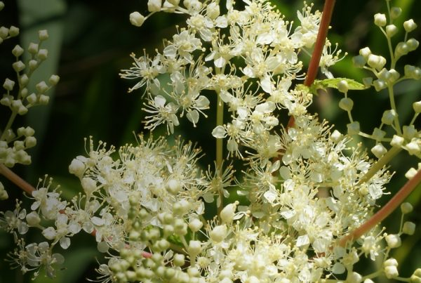 Meadowsweet - Happy Herb Shop