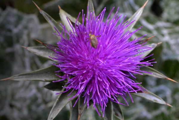 Milk thistle - Gallstone