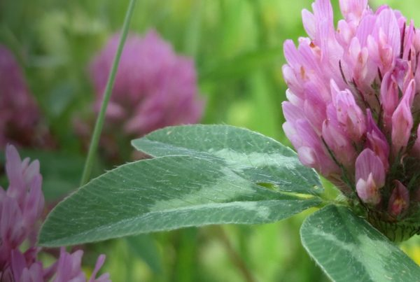 Red Clover - Meadow