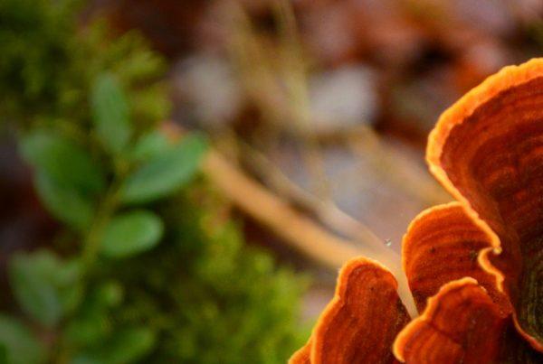 Lingzhi - Lingzhi mushroom