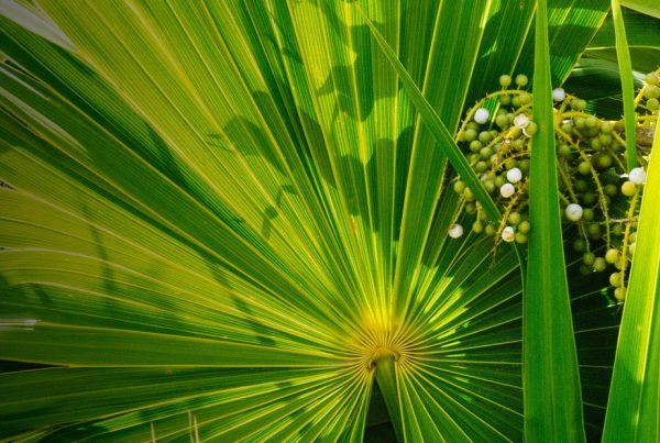 Saw palmetto - Hair