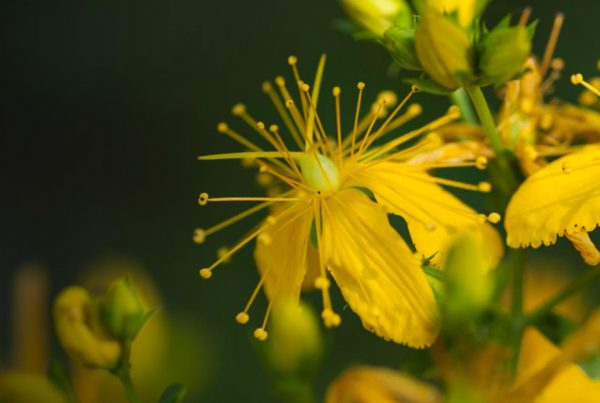 Perforate St John's-wort - Extract