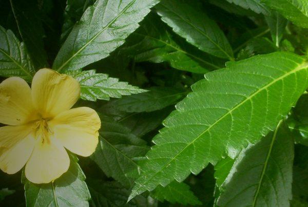 Damiana - Herb
