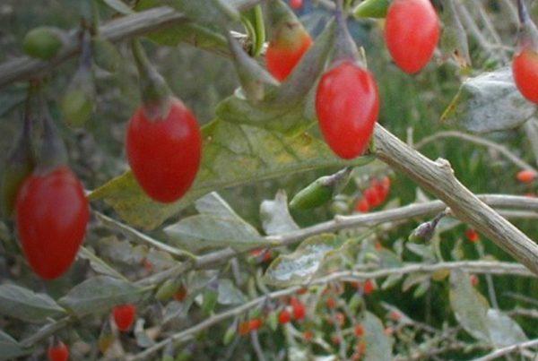 Matrimony vine - Lycium chinense