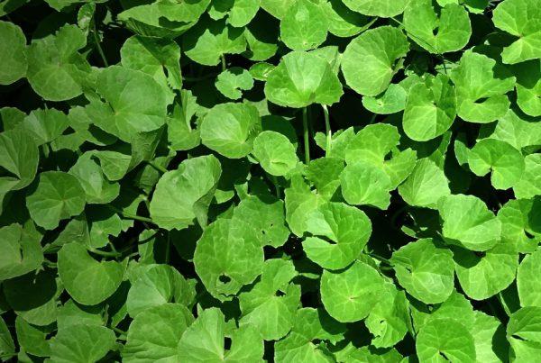 Centella asiatica - Herb