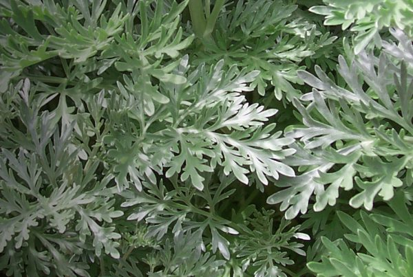Mugwort - Common wormwood