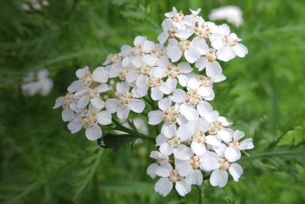 Yarrow - Flowering plant