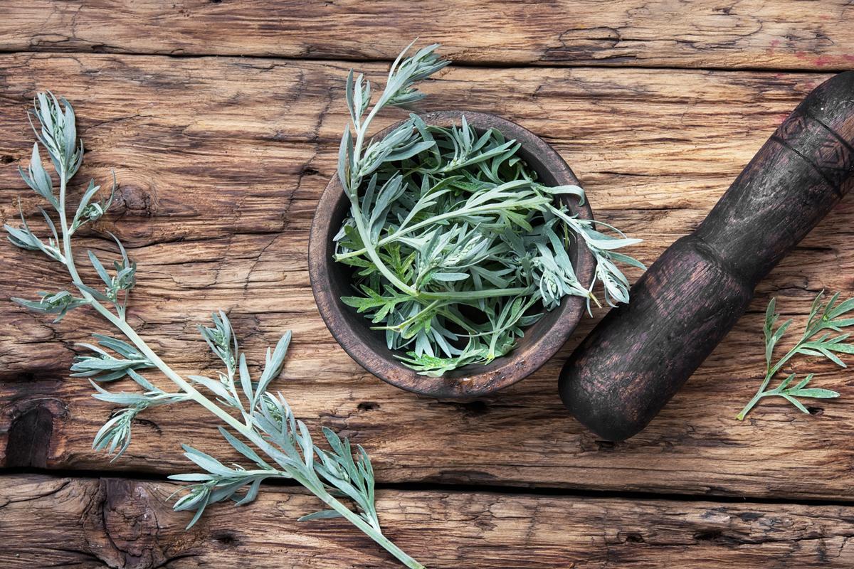 Common wormwood - Artemisia argyi