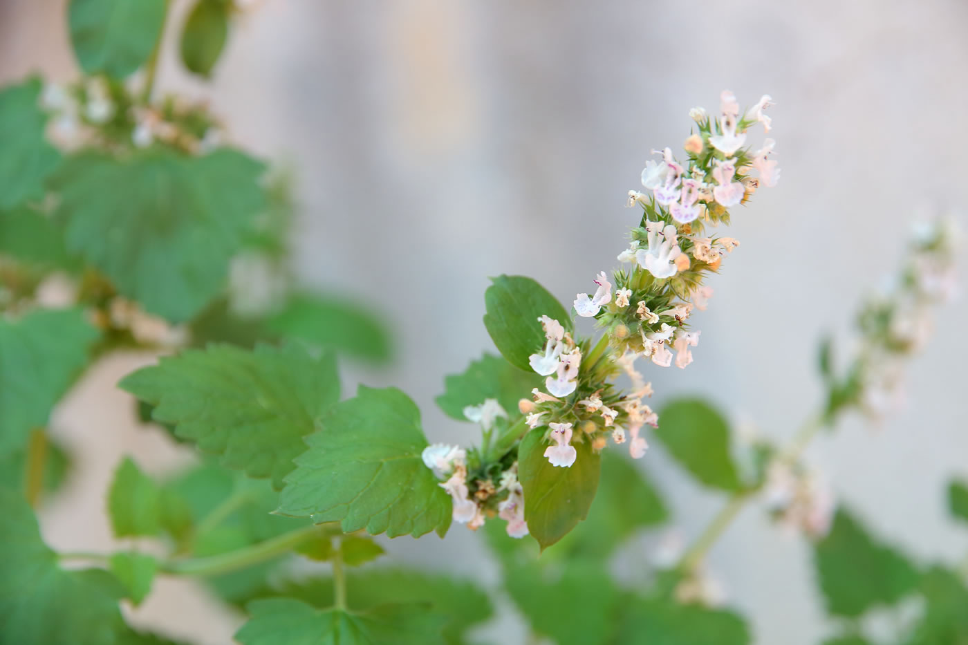Catnip: Not Just For Cats!