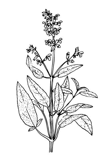 White sage - Flowering plant