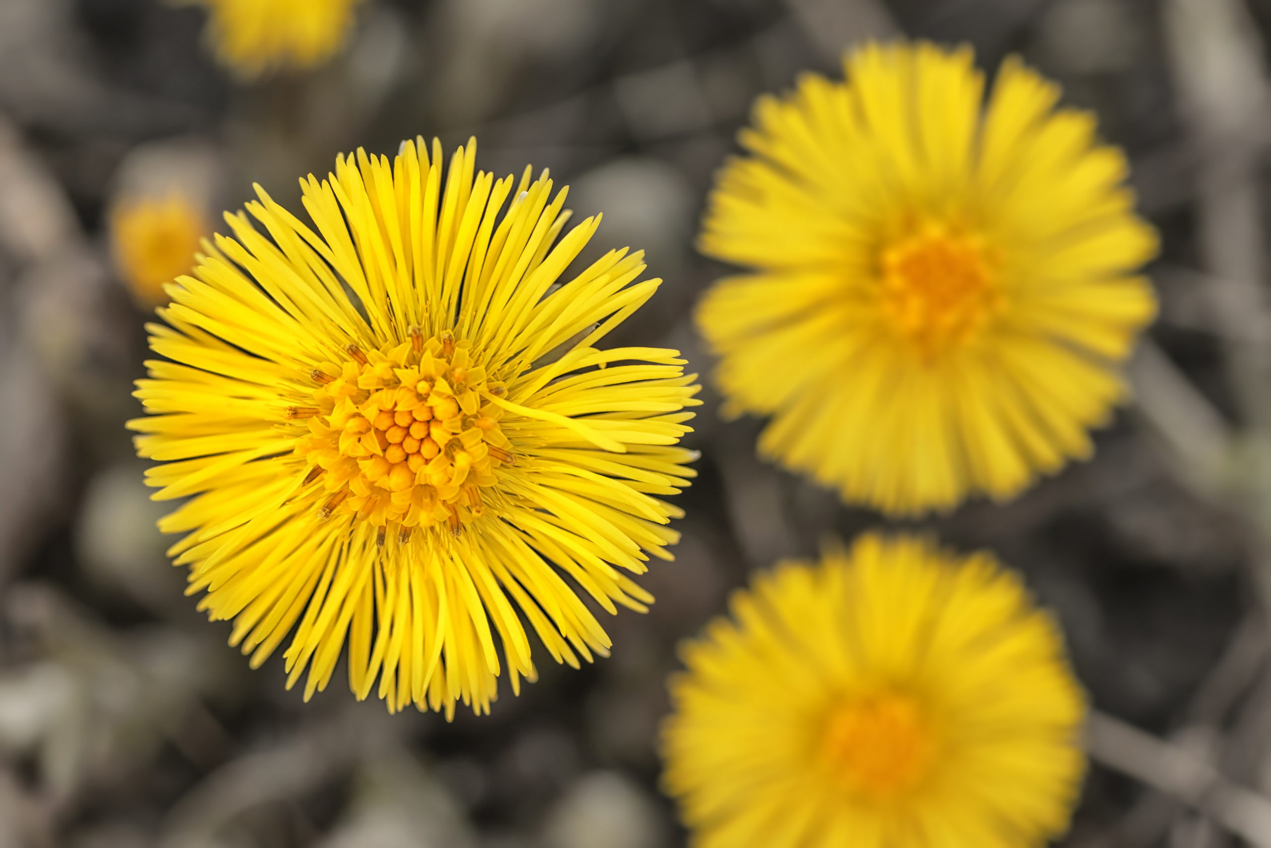 Four Herbs to Protect Our Bodies As We Enter Flu Season – Coltsfoot