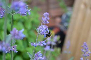 Bee pollinator lands on catnip plant flower in the garden.