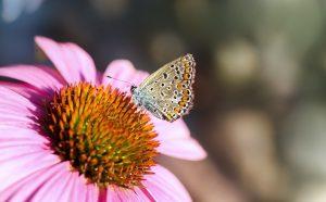 garden, gardening, echinacea, purple coneflower, coneflower, butterflies, butterfly, pollinators