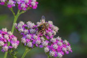 yarrow, bee, pollinator, honey bee, bumble bee, save the bees, home garden